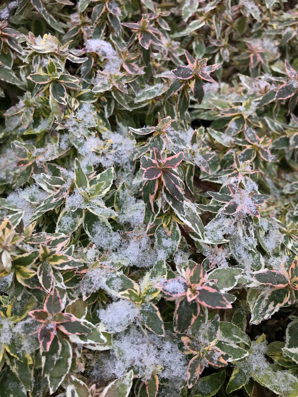 Abelia x grandiflora 'Radiance' 3g