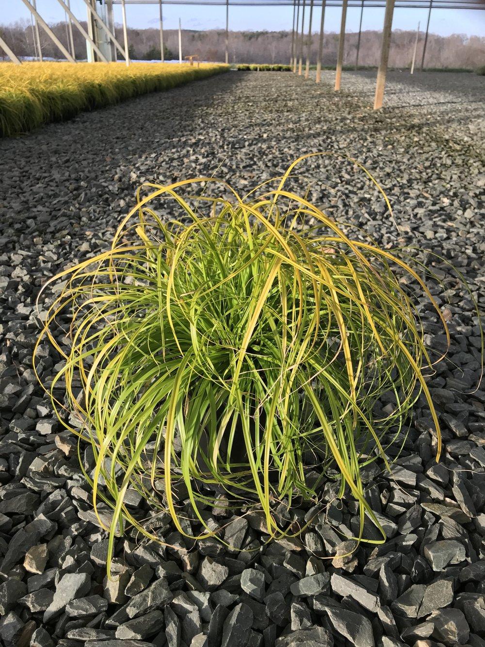 Carex oshimensis 'Everillo' 1g