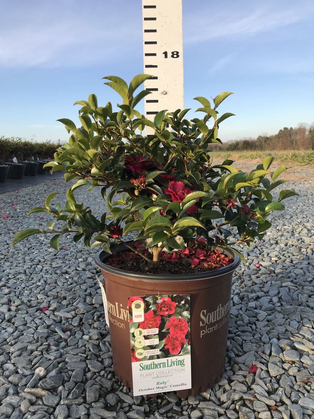 Camellia sasanqua, October Magic Ruby 3g
