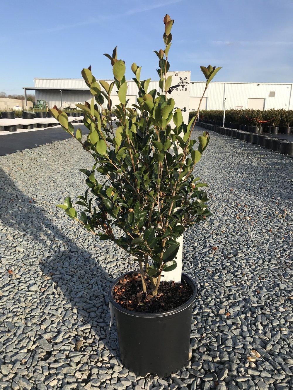 Camellia sasanqua 'Setsugekka' 3g