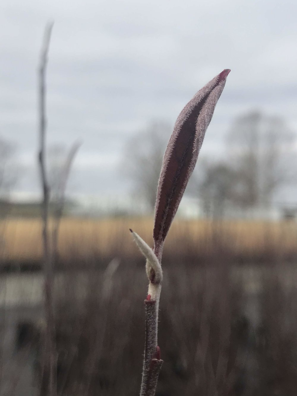 Aronia arbutifolia 'Brilliantissima' 3g