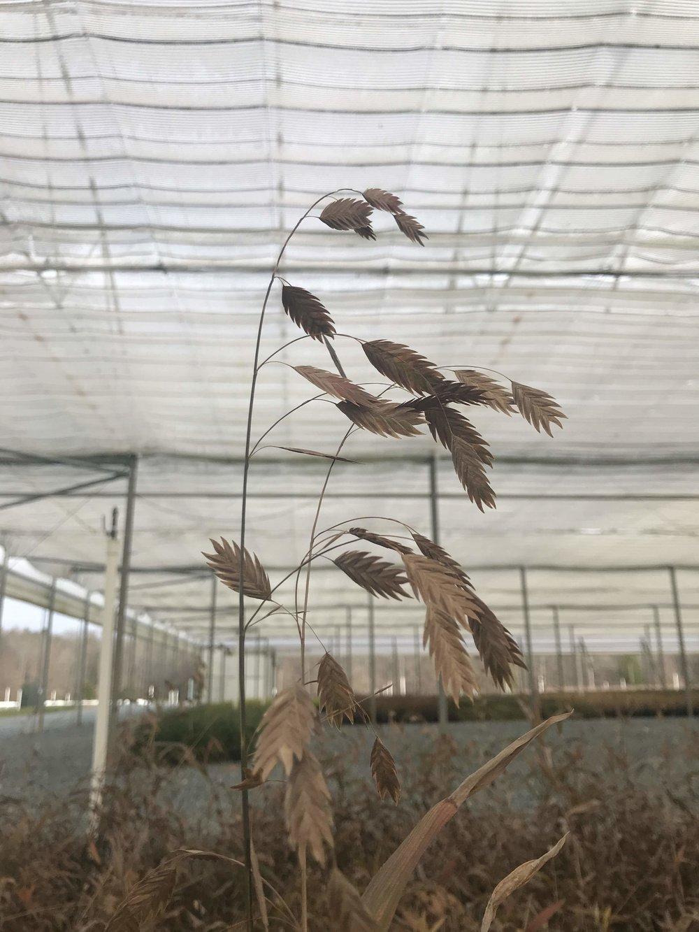 Chasmanthium latifolium, Northern Sea Oats 1g