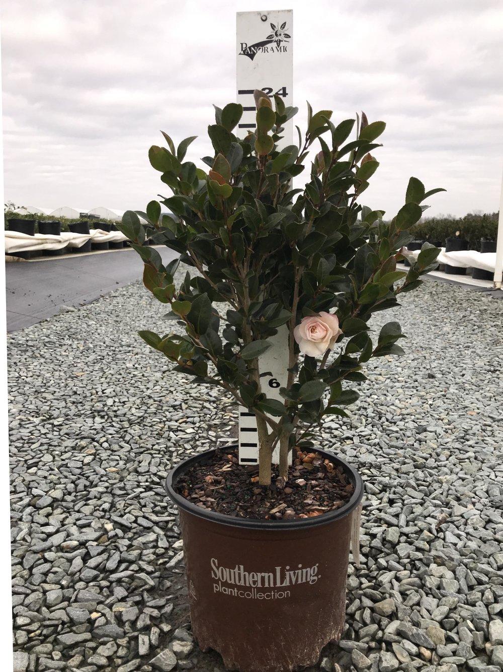 Camellia sasanqua, October Magic Dawn 3g