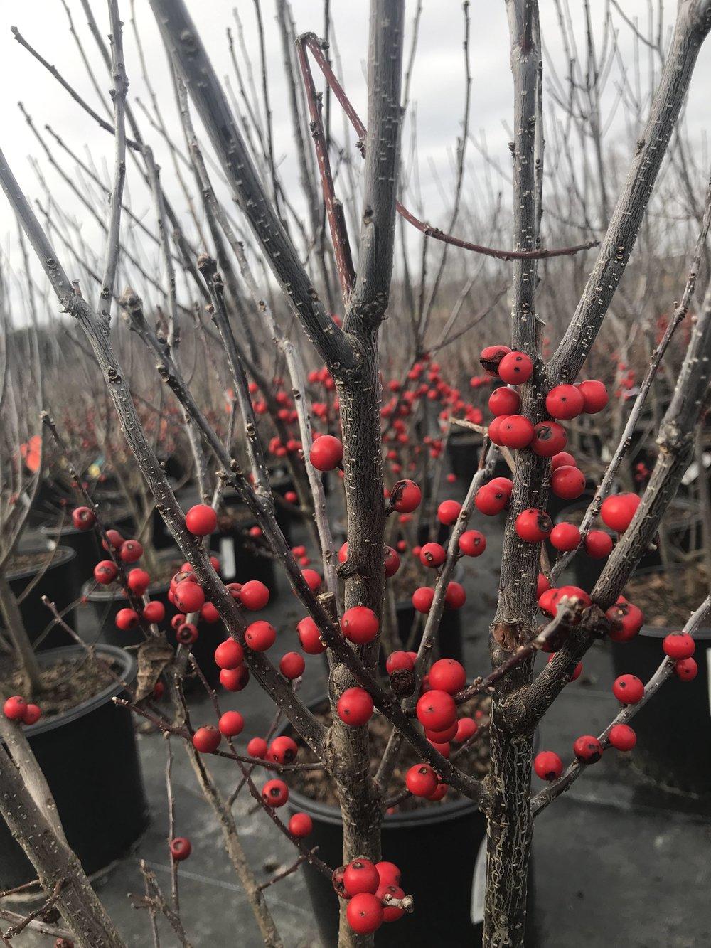 Ilex verticillata 'Winter Red' 3g