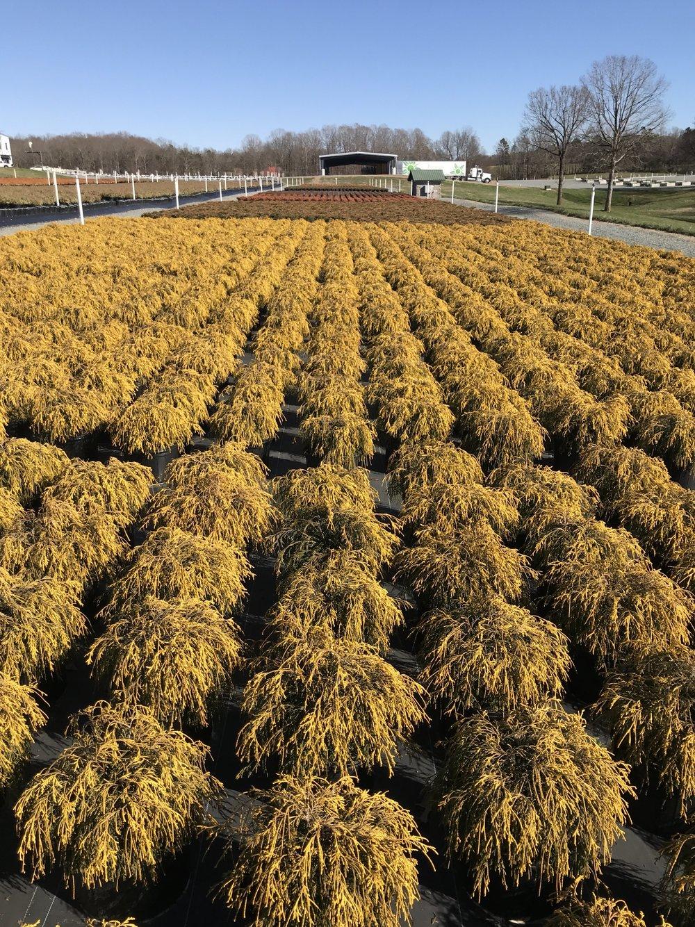 Gold Mop crop