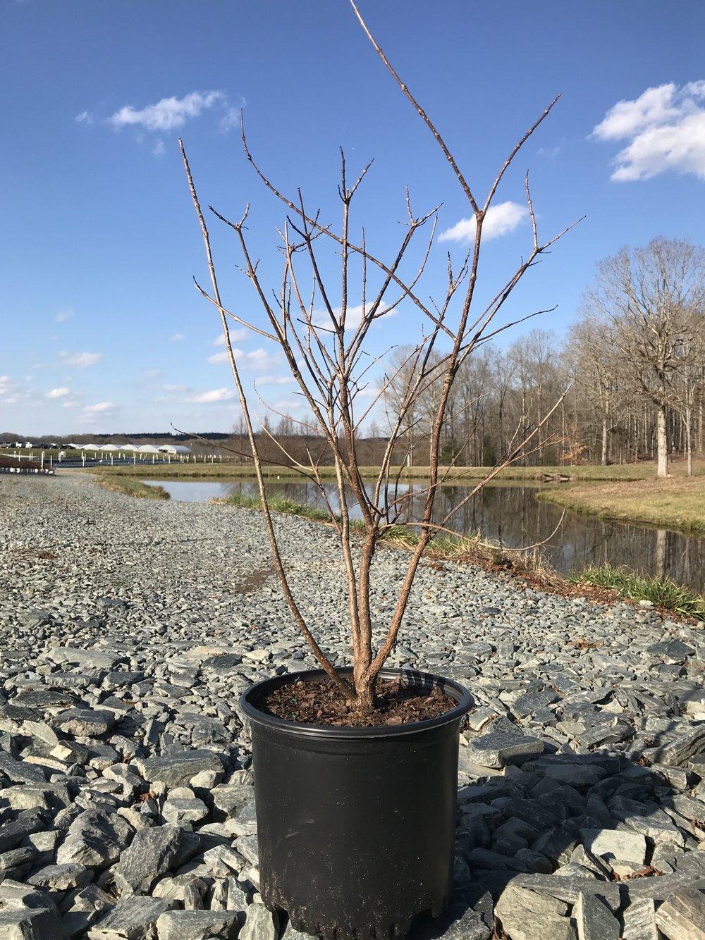Cephalanthus occidentalis, Buttonbush 3g