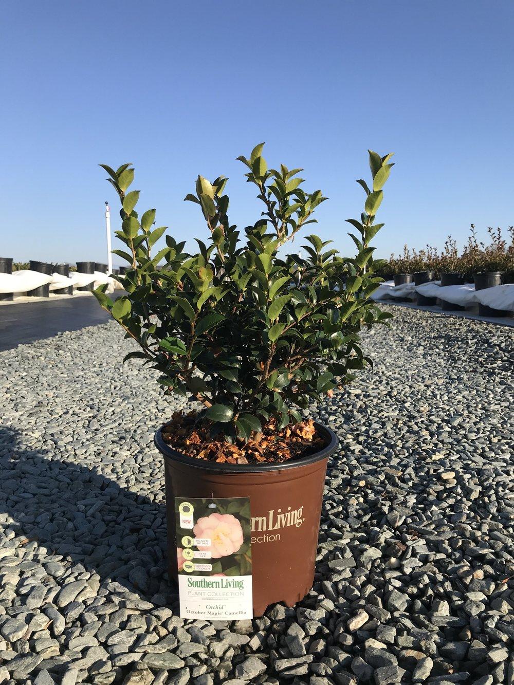 Camellia sasanqua, October Magic Orchid 3 gallon