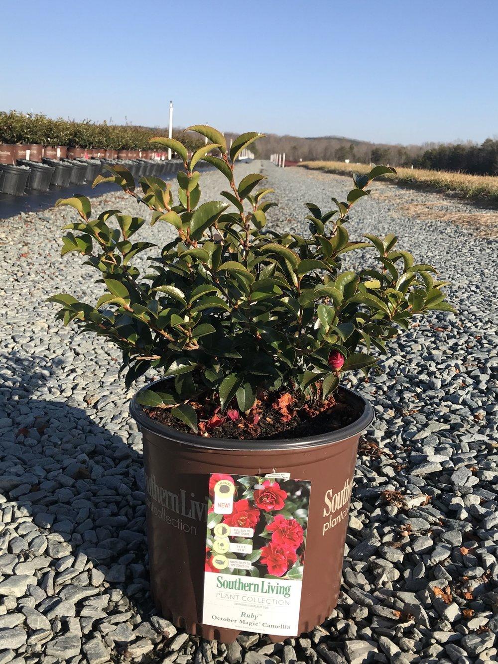 Camellia sasanqua, October Magic Ruby 3 gallon