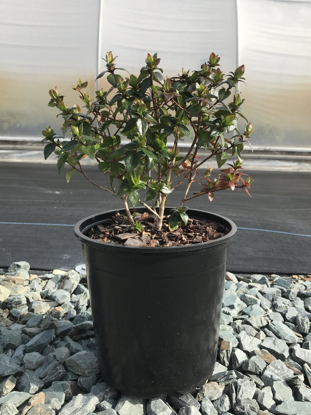 Abelia x 'Rose Creek' 1g