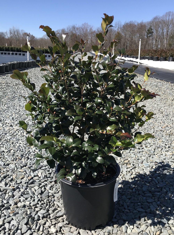 Camellia sasanqua 'Cleopatra', 3 gallon