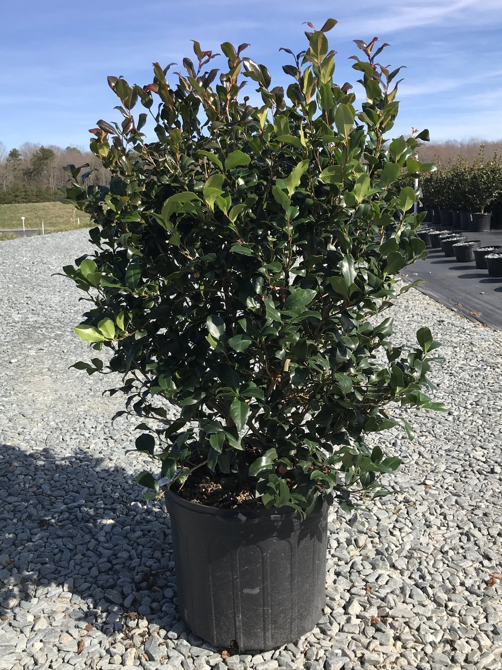 Camellia sasanqua 'Cleopatra', 7 gallon