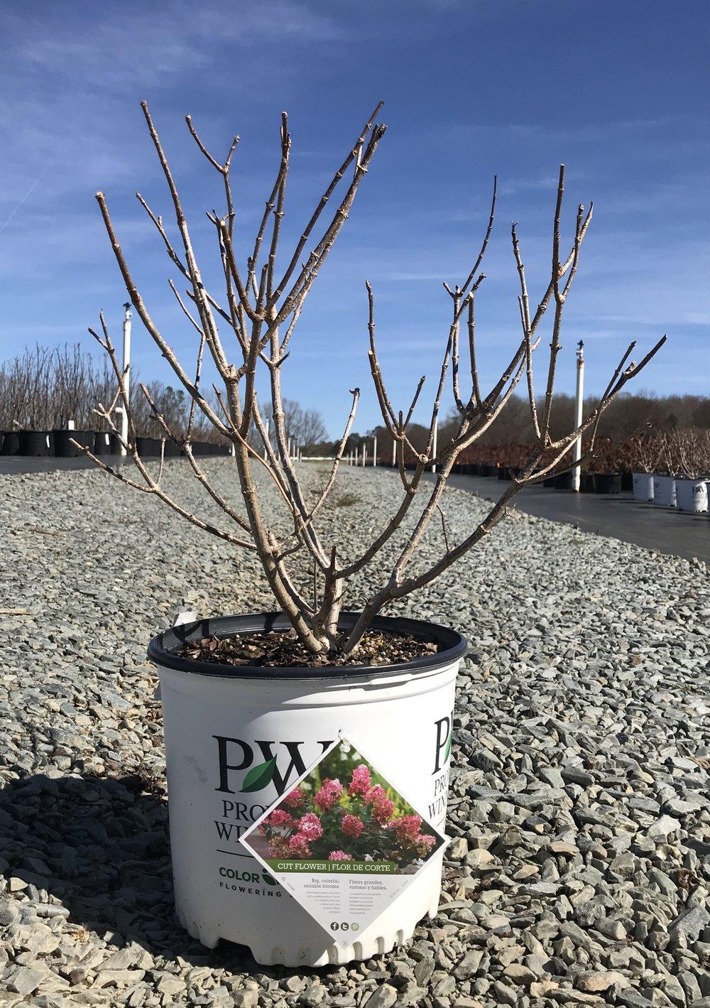 Hydrangea paniculata 'Fire Light' PP# 25,135, 3 gallon