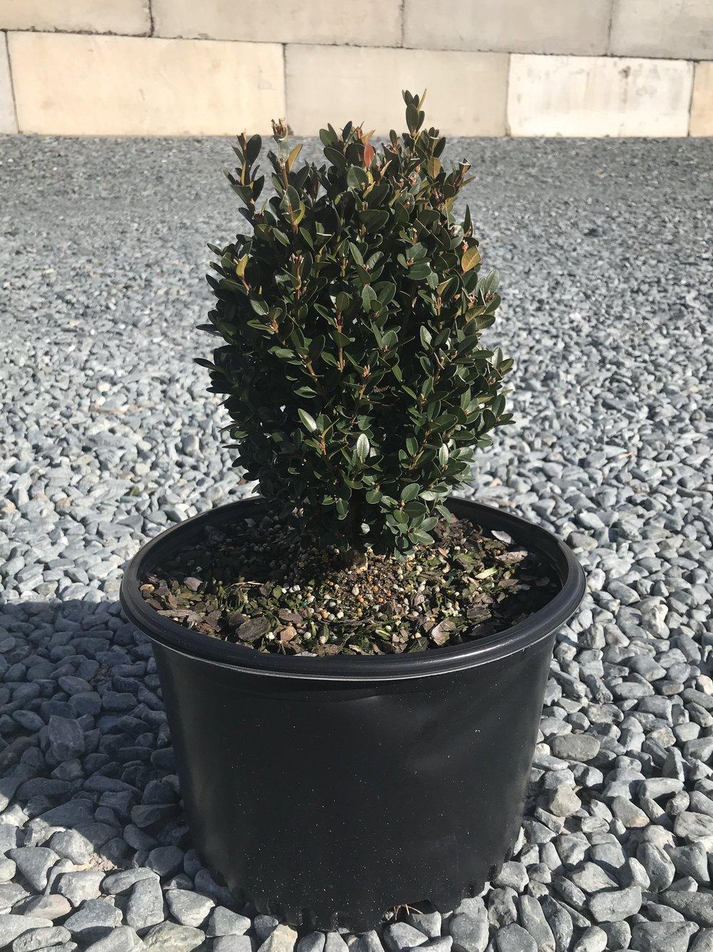 Buxus x 'Green Mountain', 3 gallon (overstock)