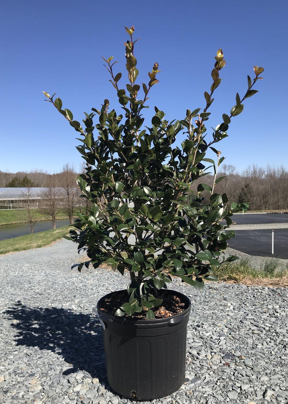 Camellia sasanqua 'Red Bird', 7 gallon