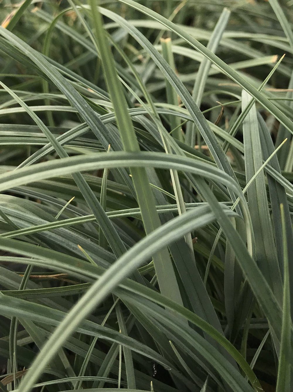 Carex flacca 'Blue Zinger' 1 gallon