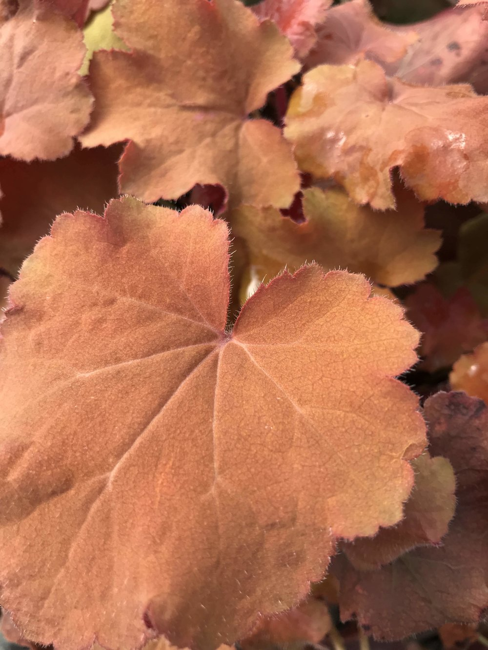 Heuchera x 'Caramel' 1 gallon