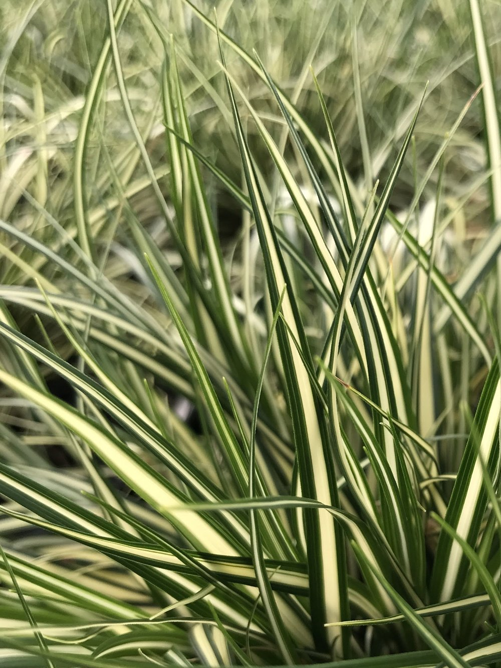Carex oshimensis 'Evergold' 1 gallon