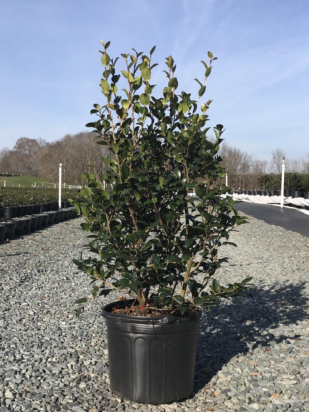 Camellia sasanqua 'Red Bird' - 7 gallon