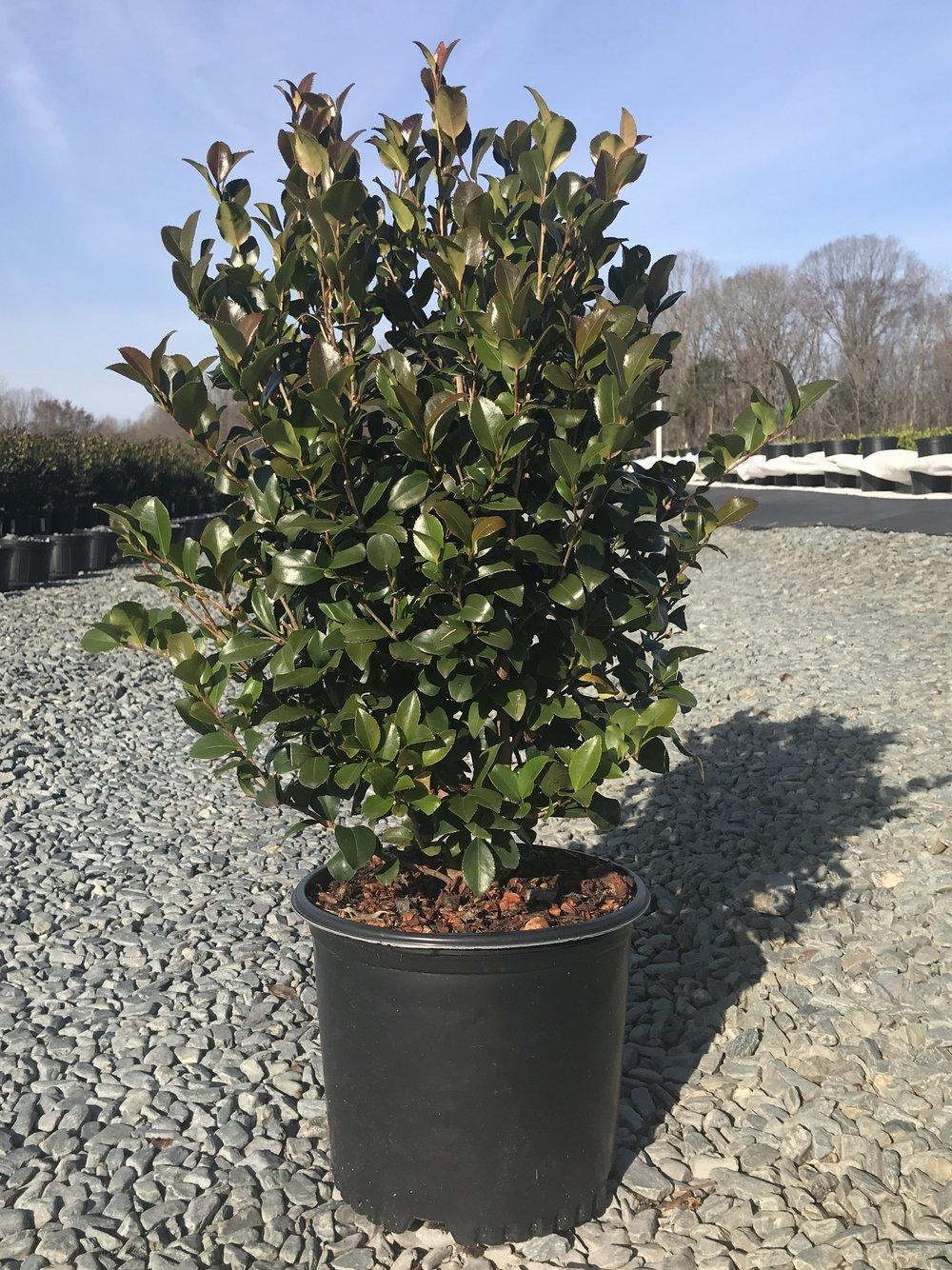 Camellia sasanqua 'Cleopatra' 3 gallon