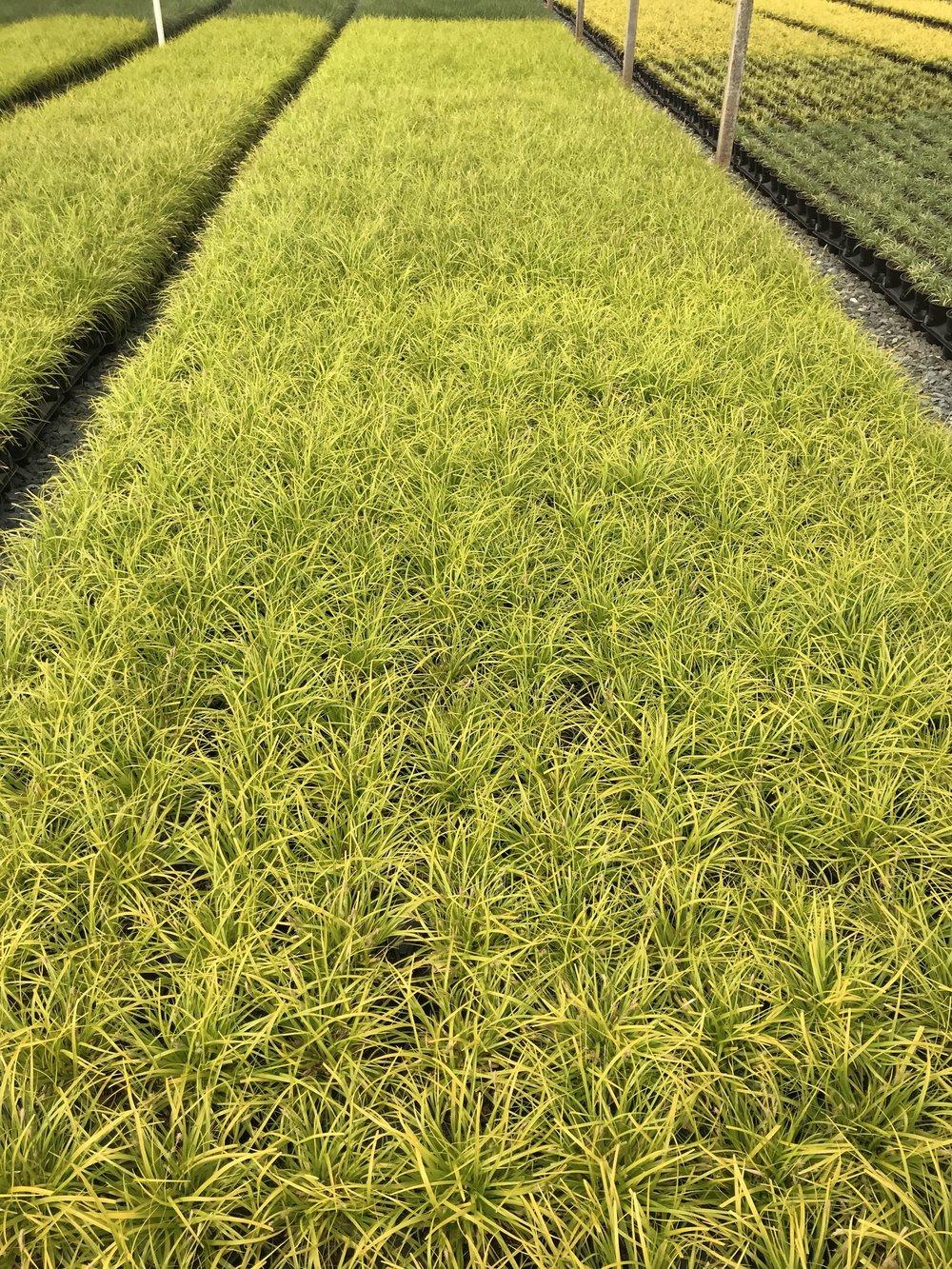 Carex oshimensis 'Everillo' 1 gallon
