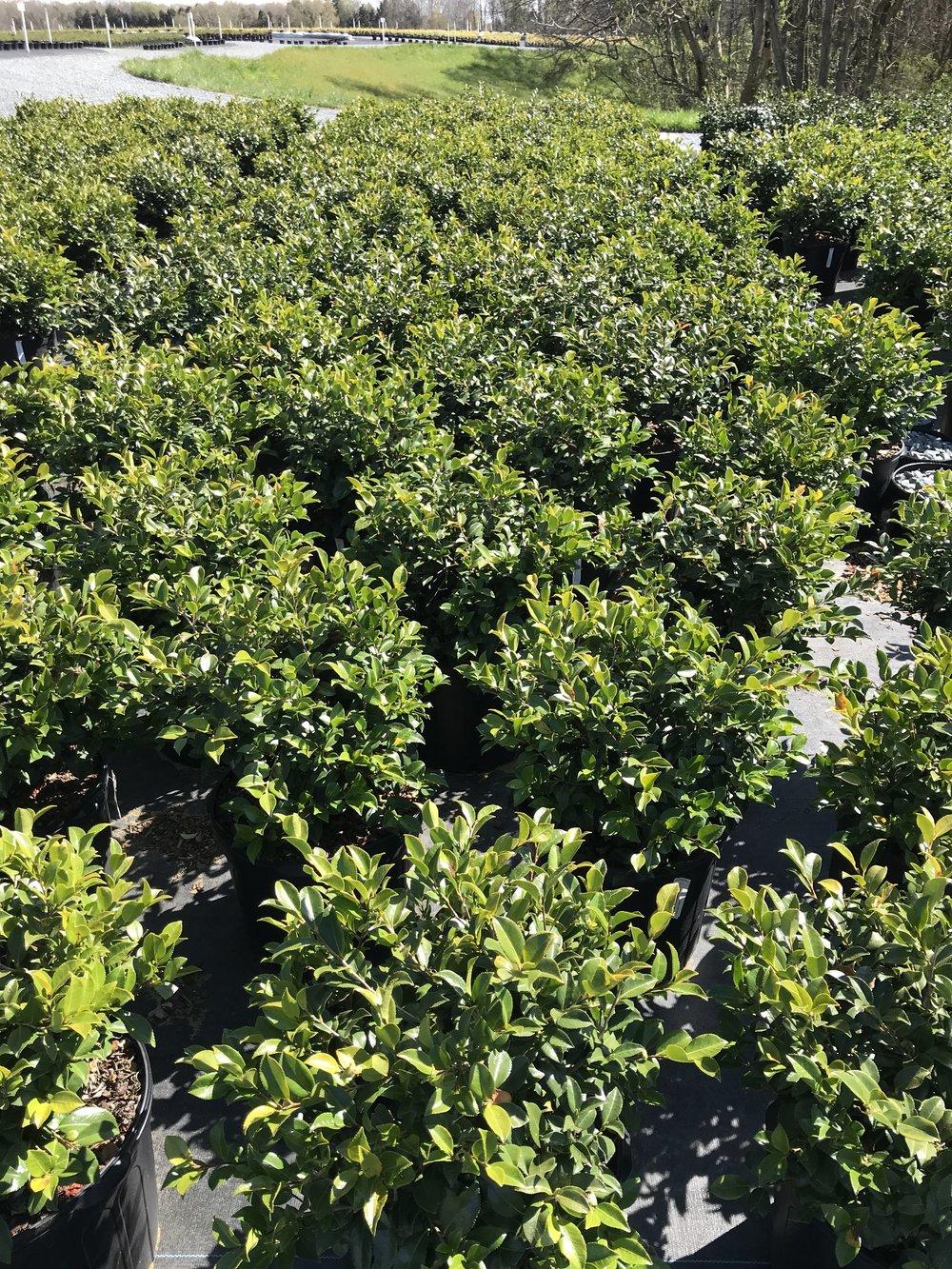 Camellia sasanqua 'Hot Flash' 7 gallon