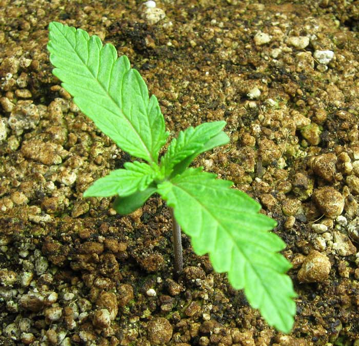 happy-marijuana-seedling.jpg