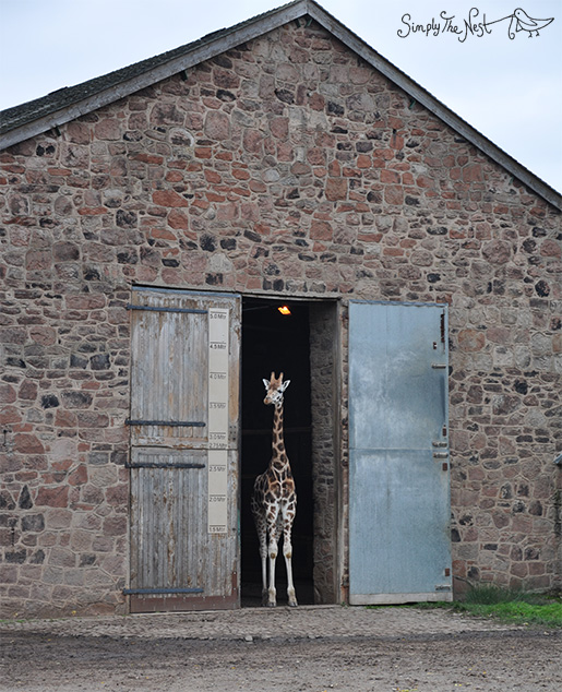 Giraffe at Chester Zoo - by Simply The Nest, a UK DIY renovation blog