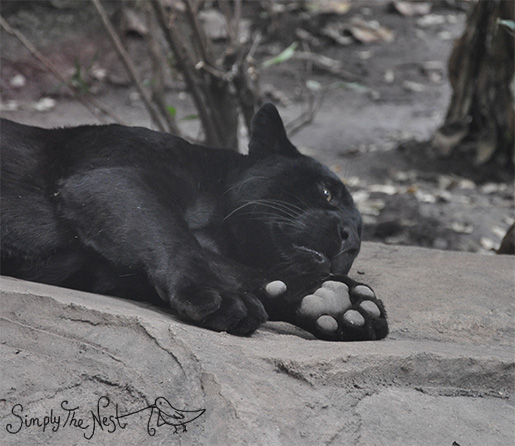 Black jaguar at Chester Zoo - by Simply The Nest, a UK DIY renovation blog