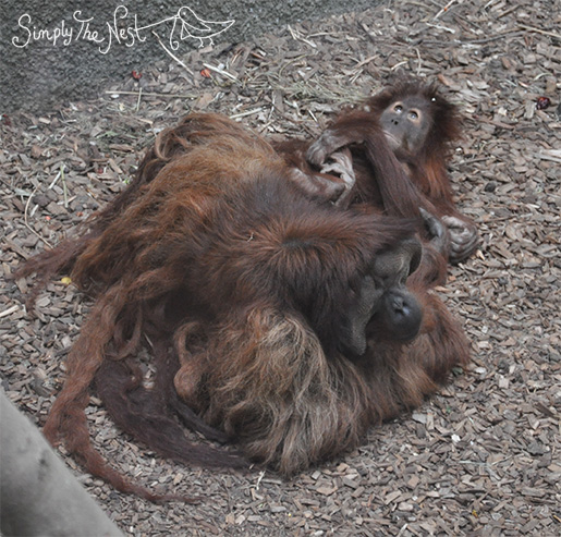 Red apes at Chester Zoo - by Simply The Nest, a UK DIY renovation blog