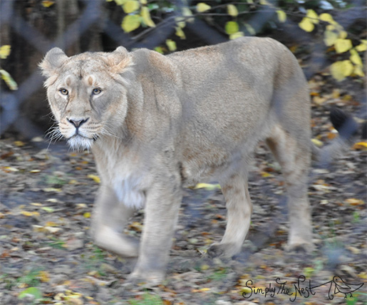 Lion at Chester Zoo - by Simply The Nest, a UK DIY renovation blog
