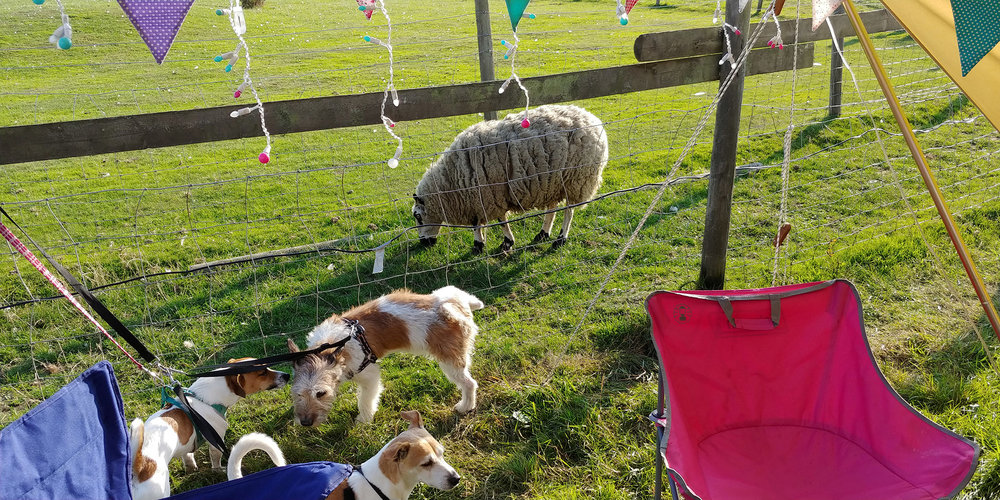 Just a sheep casually wandering along in front of the tent. We weren't sure what the dogs would make of the proximity to the animals, but Enrique contented himself with trying to wee on them.