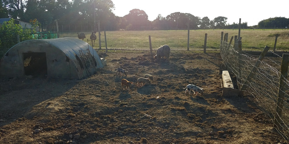 Big Mama pig and baby piglets during golden hour. The piglets routinely wriggled out from under their fence and romped around the fields with obvious glee.