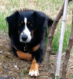 And... ENZO - Our vineyard mascot