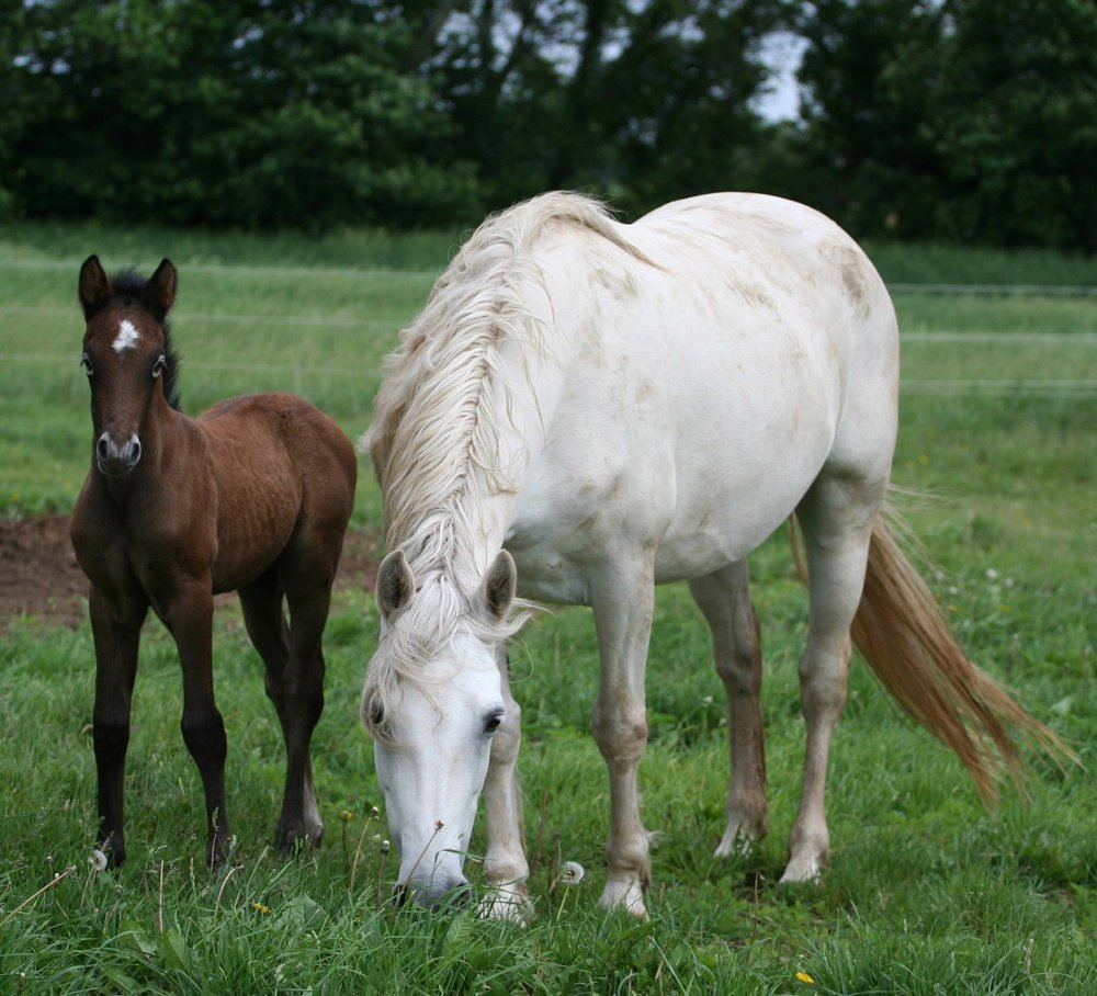 Blue Rock Nuala - *Grey Pearl (Earl of Newbridge x Grey Duchess by Castleside Tigue) with her 2013 filly sired by Wildwych Wily Casanova (Bunowen Castle Ri x *Rudgway Silver FIligree by Oxenholm Matador)