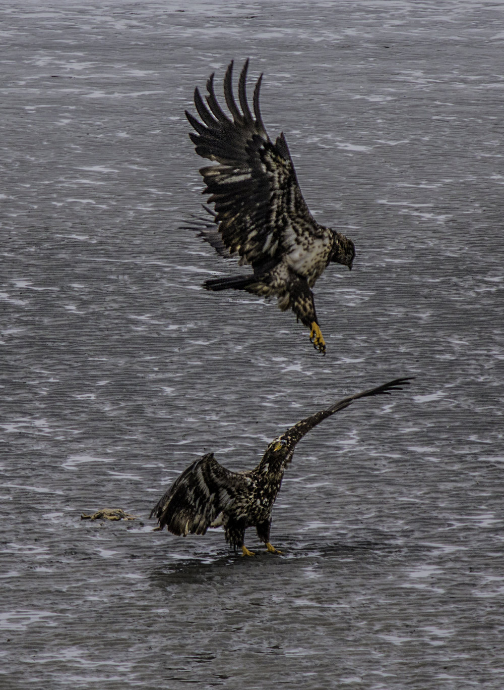 Eagles battle over crab.jpg
