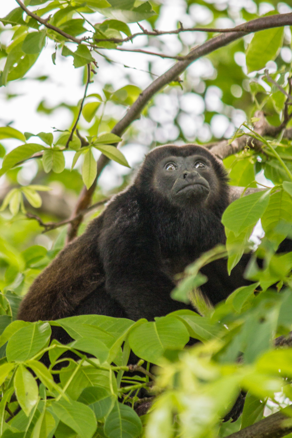 Howler Monkey (1 of 1).jpg