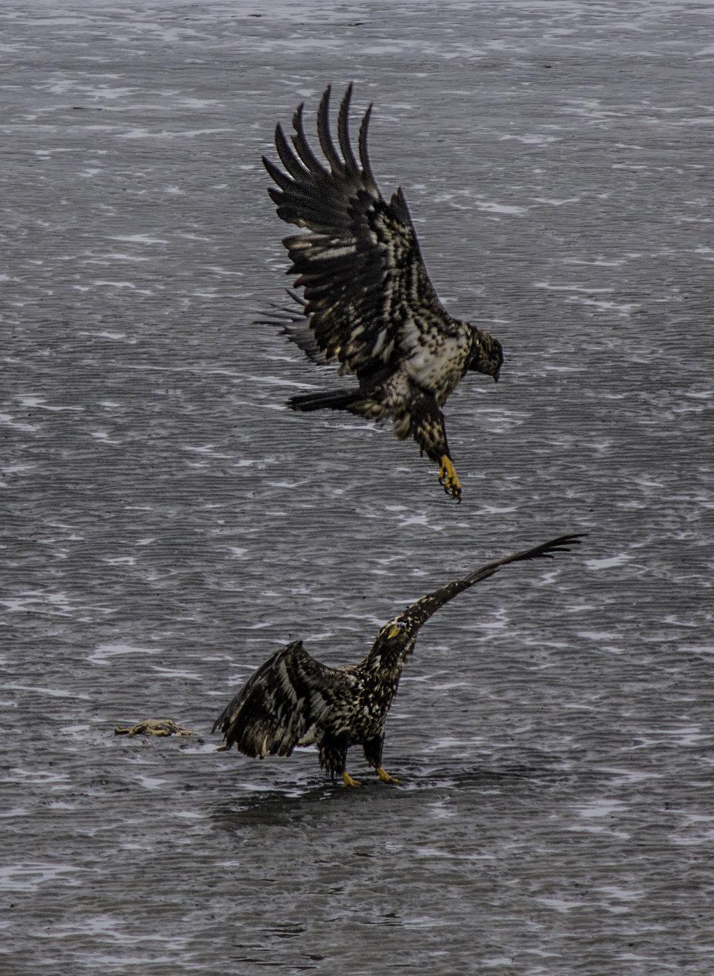 Eagles battle over crab.jpg