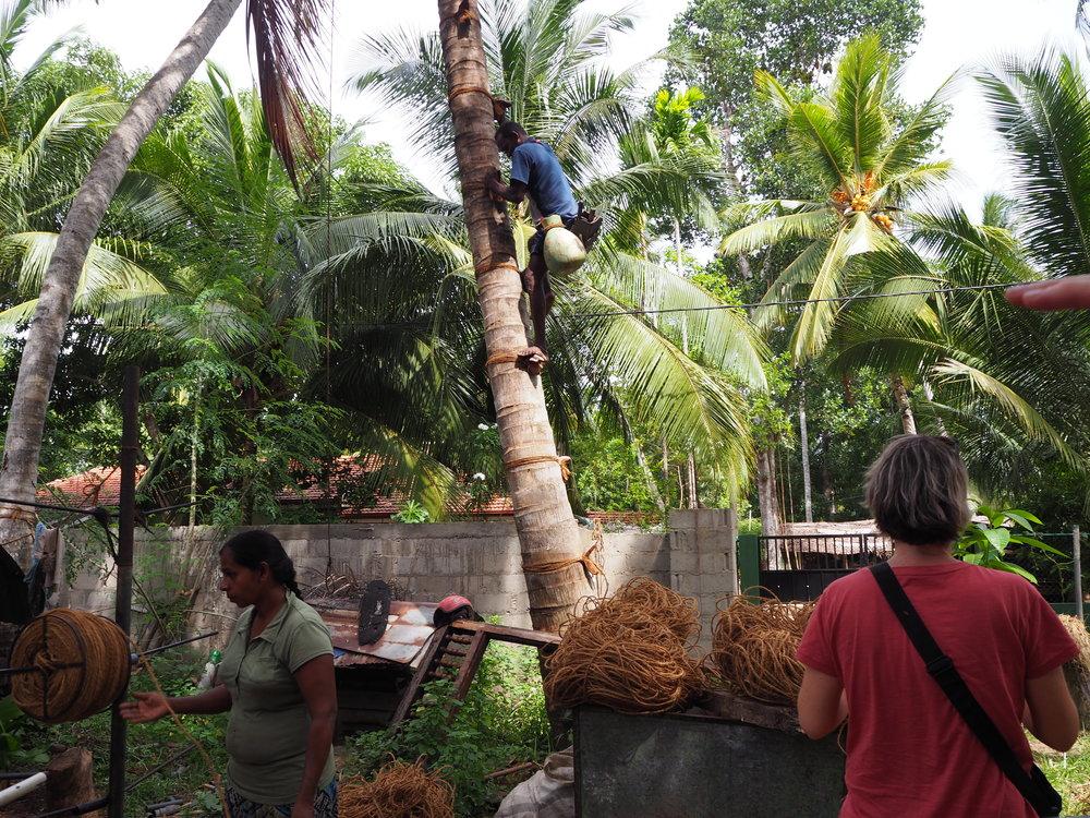 Coconut plantation outside Negombo