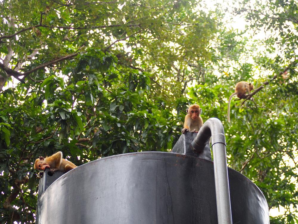 Monkey's chatting around the water cooler, Wilpattu National Park
