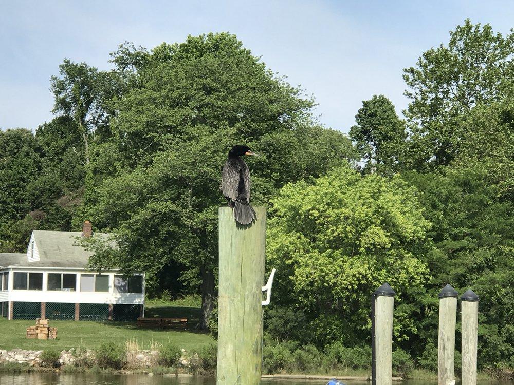 Our local cormorant