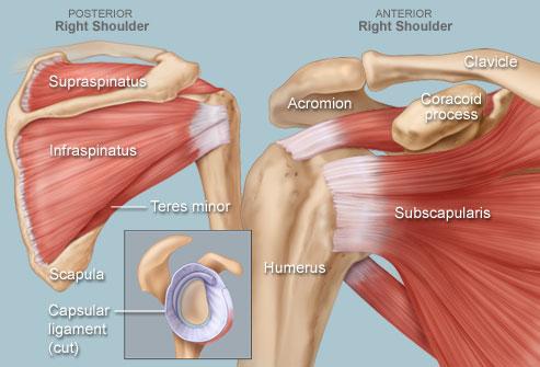 Anatomy of the Shoulder.jpg