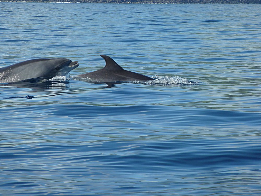 Dolphin swimming, São Miguel.