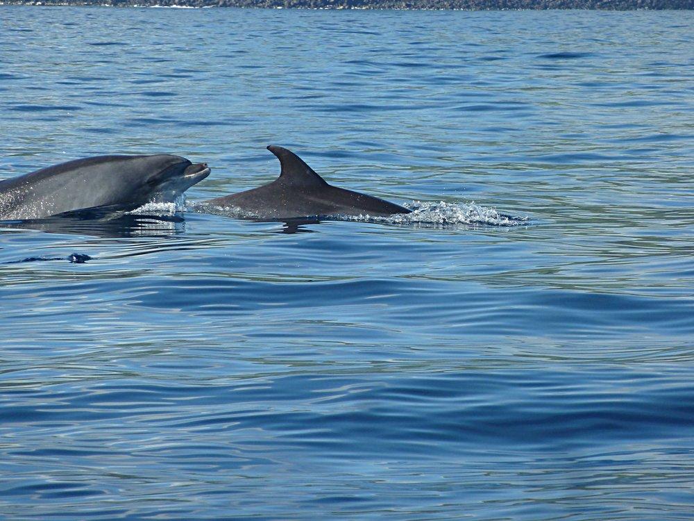 Dolphin swimming, São Miguel.