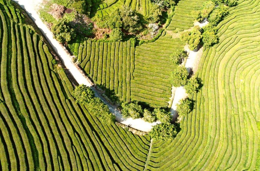 Top Tip Azores Tea Plantation - Gorreana.jpg