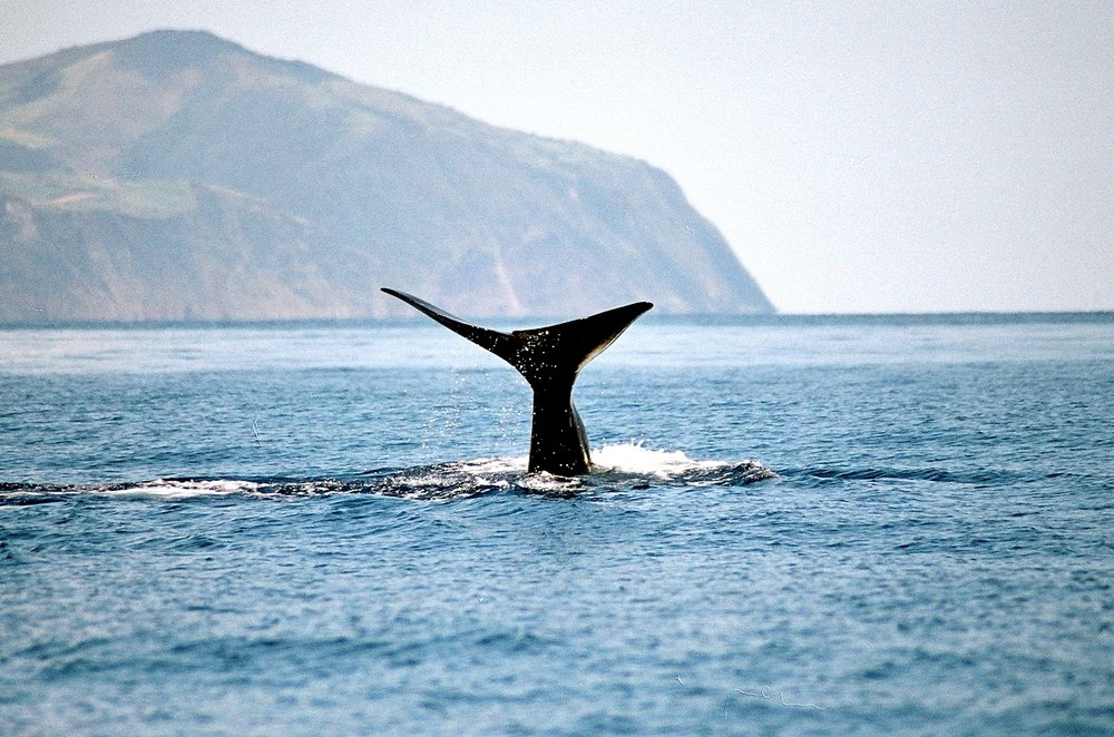 Whale Watching São Miguel Azores - Azores Connections.jpg