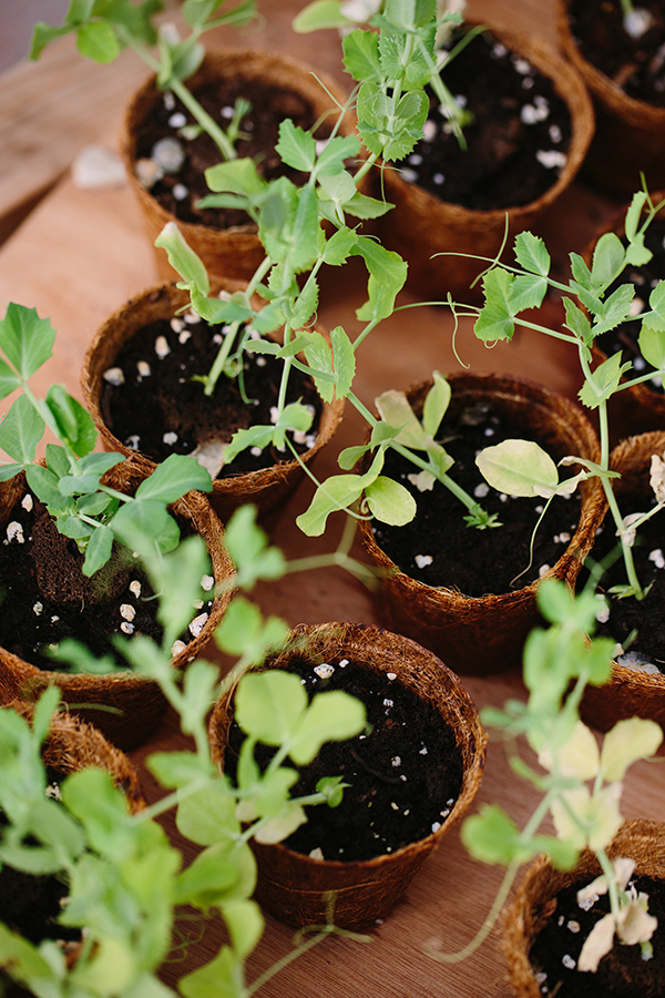 Rooted Gypsy bean plantings