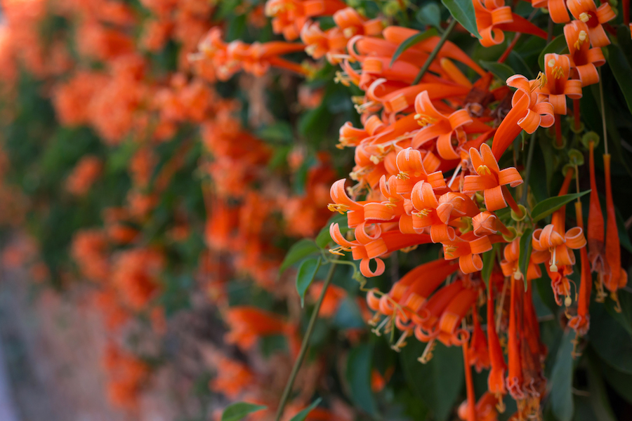 Hummingbirds (and most humans) find trumpet vine irresistable.