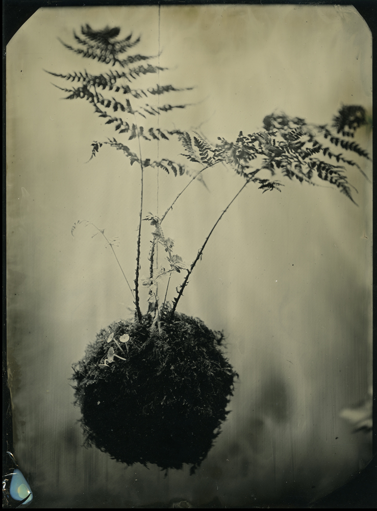 """Kokedama I, Gwen Wilkinson, from the series """"A fine balance"""", Tintype (photograph on a metal plate)"""