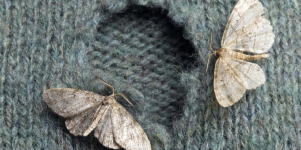 Common clothes moth. Photo via dailymail.uk