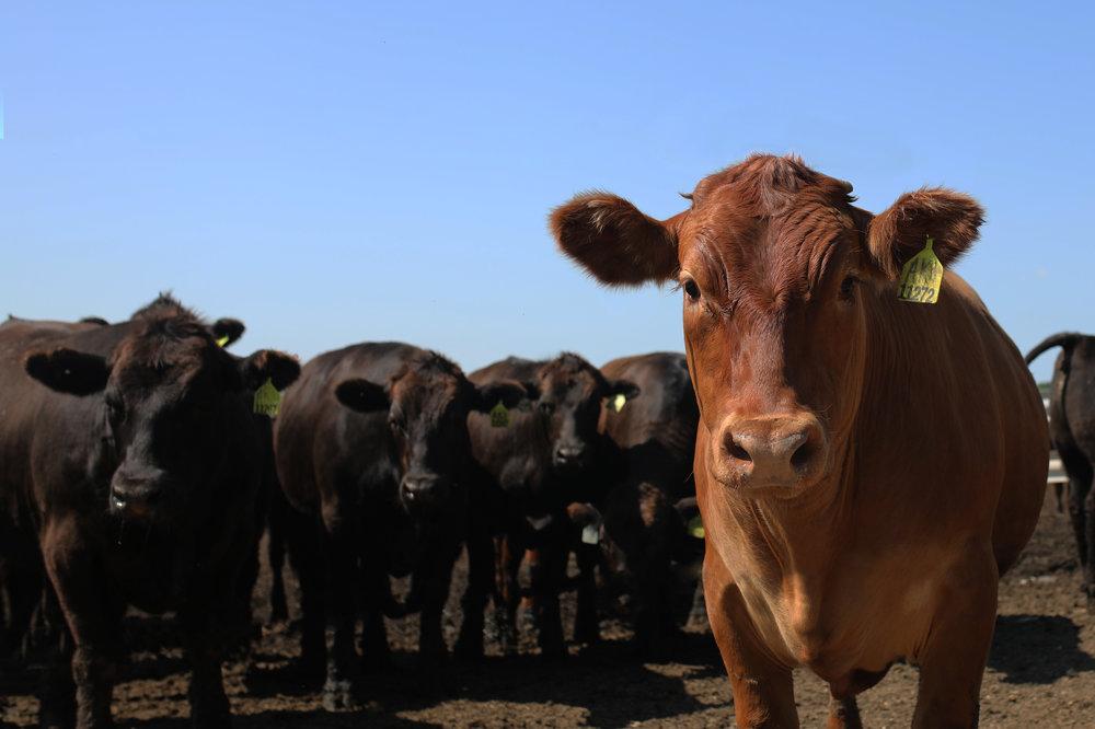 wagyu-angus cattle